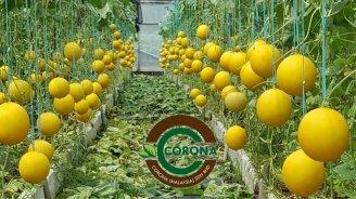 Corona Malaysia Sdn Bhd Grow Your Own Food at Home DIY Plantation Organic Vegetables Batu Pahat Johor Malaysia Vertical Growing Stand Alvin Tay Adrian Teh 瓜的故事 辣椒 B01
