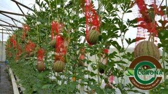 Corona Malaysia Sdn Bhd Grow Your Own Food at Home DIY Plantation Organic Vegetables Batu Pahat Johor Malaysia Vertical Growing Stand Alvin Tay Adrian Teh 瓜的故事 辣椒 B02
