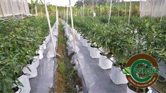 Corona Malaysia Sdn Bhd Grow Your Own Food at Home DIY Plantation Organic Vegetables Batu Pahat Johor Malaysia Vertical Growing Stand Alvin Tay Adrian Teh 瓜的故事 辣椒 B11