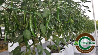 Corona Malaysia Sdn Bhd Grow Your Own Food at Home DIY Plantation Organic Vegetables Batu Pahat Johor Malaysia Vertical Growing Stand Alvin Tay Adrian Teh 瓜的故事 辣椒 B12