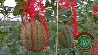 Corona Malaysia Sdn Bhd Grow Your Own Food at Home DIY Plantation Organic Vegetables Batu Pahat Johor Malaysia Vertical Growing Stand Alvin Tay Adrian Teh 瓜的故事 辣椒 B04