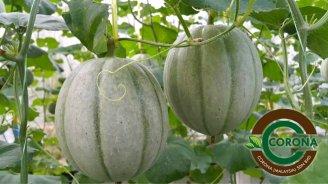 Corona Malaysia Sdn Bhd Grow Your Own Food at Home DIY Plantation Organic Vegetables Batu Pahat Johor Malaysia Vertical Growing Stand Alvin Tay Adrian Teh 瓜的故事 辣椒 B05