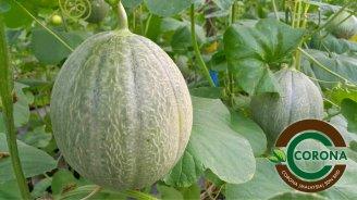 Corona Malaysia Sdn Bhd Grow Your Own Food at Home DIY Plantation Organic Vegetables Batu Pahat Johor Malaysia Vertical Growing Stand Alvin Tay Adrian Teh 瓜的故事 辣椒 B07