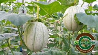 Corona Malaysia Sdn Bhd Grow Your Own Food at Home DIY Plantation Organic Vegetables Batu Pahat Johor Malaysia Vertical Growing Stand Alvin Tay Adrian Teh 瓜的故事 辣椒 B08