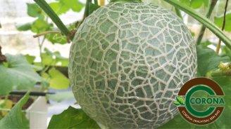 Corona Malaysia Sdn Bhd Grow Your Own Food at Home DIY Plantation Organic Vegetables Batu Pahat Johor Malaysia Vertical Growing Stand Alvin Tay Adrian Teh 瓜的故事 辣椒 B09